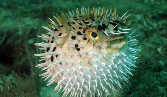 ماهی بادکنکی